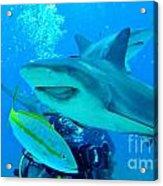 Who Said Sharks Were Mean Acrylic Print