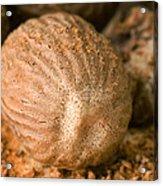 Whole Nutmeg Nuts Acrylic Print