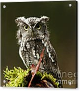 Whooo Goes There... Eastern Screech Owl  Acrylic Print
