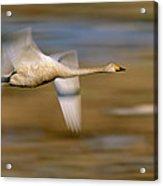 Whooper Swan Cygnus Cygnus Flying Acrylic Print