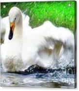 Whooper Swan Flutter Acrylic Print