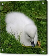 Whooper Swan Juvenile  Acrylic Print