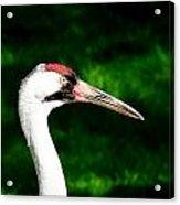 Whooping Crane Acrylic Print