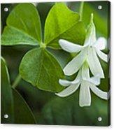 Whtie Clover Flower Acrylic Print