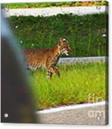 Why Did The Bobcat Cross The Road Acrylic Print