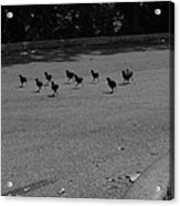 Why Did The Chicken Cross The Road Acrylic Print
