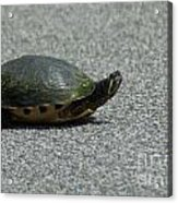 Why Did The Turtle Cross The Road Acrylic Print