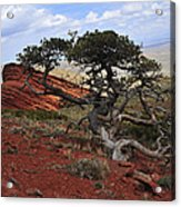 Wicked Tree And Red Rocks Acrylic Print by Roger Snyder