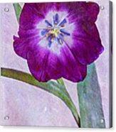 Wide Open Tulip Acrylic Print
