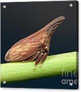 Widefooted Treehopper II Acrylic Print