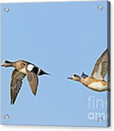 Wigeon Pair Flying Acrylic Print