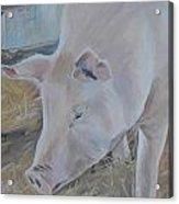 Wilbur Acrylic Print