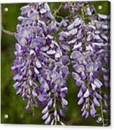Wild Alabama Wisteria Frutescens Wildflowers Acrylic Print