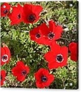 Wild Anemone Flowers In A Spring Field  Acrylic Print
