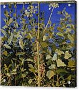 Wild Angelica Acrylic Print