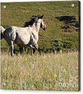 Wild Appaloosa Running Away Acrylic Print