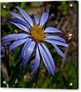 Wild Aster Flower Acrylic Print