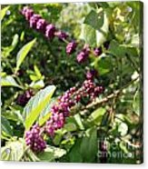 Wild Beautyberry Bush Acrylic Print