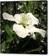 Wild Blackberry Blossom Acrylic Print