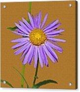 Wild Blue Aster Acrylic Print