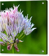 Wild Blue - Chive Blossom Acrylic Print