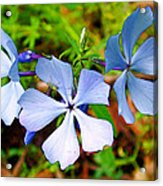 Wild Blue Phlox Near Hastings-michigan   Acrylic Print