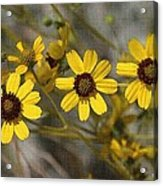 Wild Brittle Bush Flowers Acrylic Print