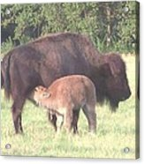 Wild Buffalo And Baby Acrylic Print by Rosalie Klidies