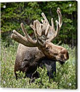 Wild Bull Moose Acrylic Print