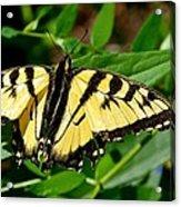 Wild Butterfly Acrylic Print