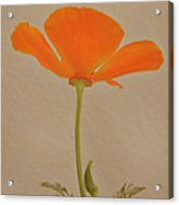 Wild California Poppy No 2 Acrylic Print