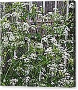 Wild Caraway And Old Fence Acrylic Print