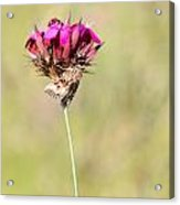 Wild Carnation With Nocturnal Moth Acrylic Print