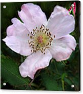 Wild Carolina Rose Acrylic Print