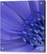 Wild Chicory Macro Acrylic Print