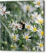 Wild Daisies And The Bumblebee Acrylic Print
