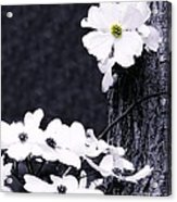 Wild Dogwood Blooms Acrylic Print