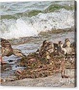Wild Ducks Acrylic Print