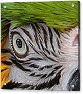 Wild Eyes - Parrot Acrylic Print