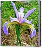 Wild Flag - Iris Versicolor Acrylic Print