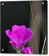 Wild Flower Bloody Cranesbill Acrylic Print