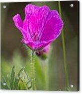 Wild Flower Bloody Geranium Acrylic Print