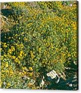 Wild Flowers, Anza Borrego Desert State Acrylic Print