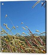 Wild Foxtail Grass In The Breeze II Acrylic Print