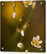 Wild Garlic Acrylic Print