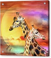 Wild Generations - Giraffes  Acrylic Print