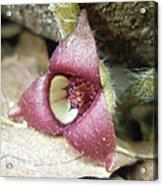 Wild Ginger Flower - Asarum Canadense Acrylic Print