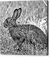 Wild Hare Acrylic Print