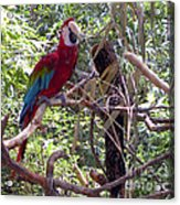 Wild Hawaiian Parrot  Acrylic Print