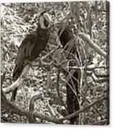 Wild Hawaiian Parrot Sepia Acrylic Print